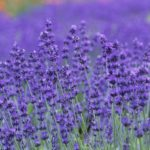 Furano lavender field private sightseeing day tour